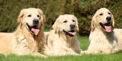 Drei Golden Retriever auf der Wiese