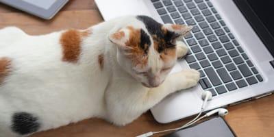 gatto tricolore sopra tastiera di un pc portatile