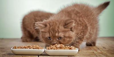 ¿Qué tiene que comer mi gato siendo aún un bebé?