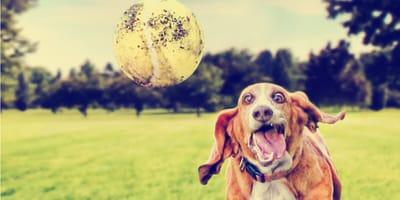 Lanza pelotas automático para perros: su mejor compañero de juegos