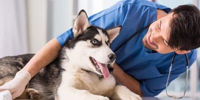 Husky dog with a vet