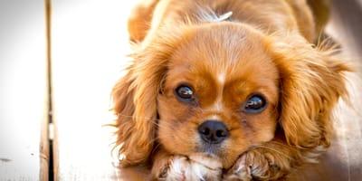 Brown young cocker spaniel dog