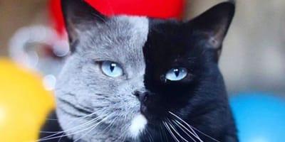 gatto dal muso bicolore e i suoi cuccioli