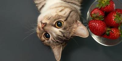 gatto-con-ciotola-di-fragole