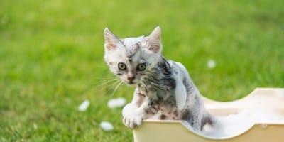 Cómo bañar a un gato bebé: lo esencial para la seguridad de tu gatito