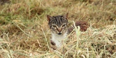 <p>Kot bardzo ostrożnie bada nieznane, potencjalne niebezpieczne zwierzę</p>