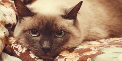 Cómo quitar los pelos de gato de las cobijas y los sillones con los trucos más eficaces
