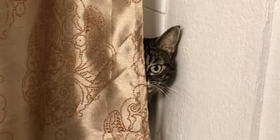 metà viso di gatto dietro tenda beige