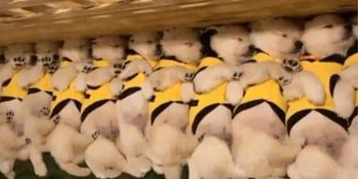 Najsłodsze psy na świecie: te 11 golden retrieverów roztopi Wasze serca