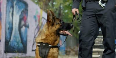 Schäferhund neben Beine eines Polizisten