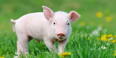 Rosa, das Zirkus-Schweinchen