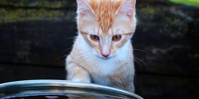 Intossicazione da acqua nel gatto: quando Micio alza troppo il gomito!
