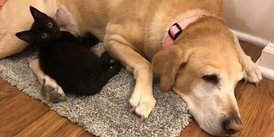 labrador-e-gatto-nero-sdraiati