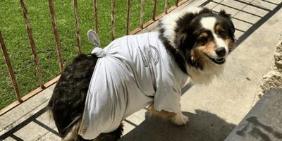 Le sale un bulto gigante en la barriga: nadie espera lo que el veterinario diagnostica