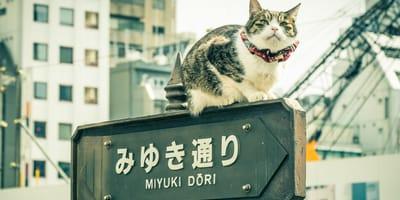 gato japón
