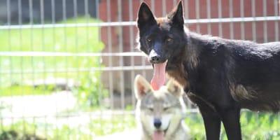 """Tierheim soll """"Streuner"""" aufnehmen: Doch was ankommt, sind keine normalen Hunde!"""