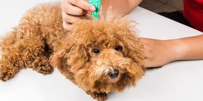 Plan de desparasitación de perros: las recomendaciones del veterinario contra los parásitos