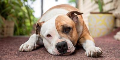 American Staffordshire Terrier a terra con sguardo triste