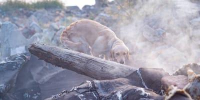 perros pueden predecir sismos o terremotos