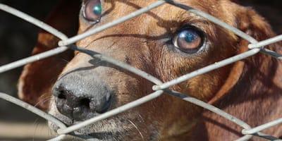 Dachshund dog behind bars