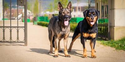 Ein Rottweiler und ein Schäferhund vor einem Tor