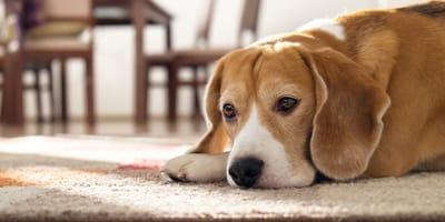 What should I do if my dog is depressed?