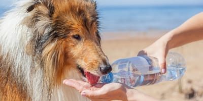 How do you cool down a dog who is overheating?