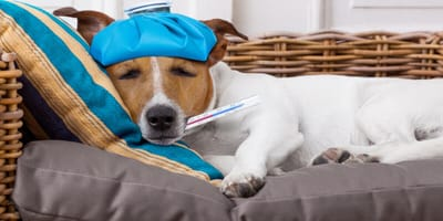Are there home remedies for a dog with a cold?