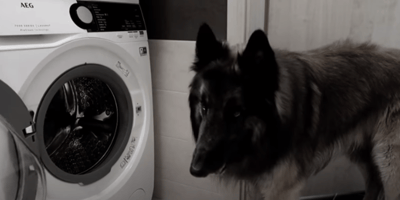 tervuren standing in front of washing machine