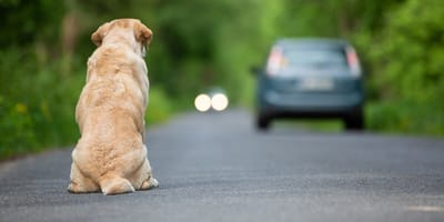 yellow labrador sitting on the road as car drives away
