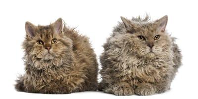 Gatos de pelo chino: descubre todo sobre esta impresionante raza gatuna