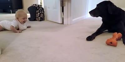 baby crawling on floor towards black labrador