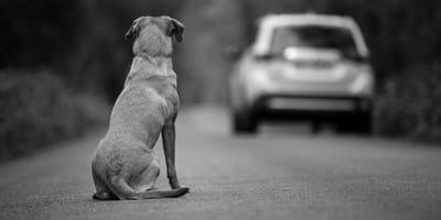 cane-abbandonato-in-strada-da-un-auto