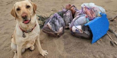 yellow labrador sitting on beach next to pile of trash