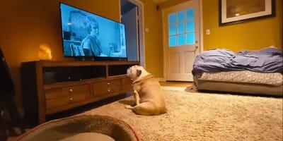 bulldog viendo la televisión