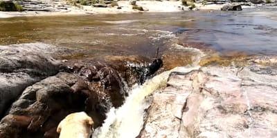 Der schwarze Labrador im Fluss