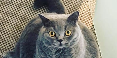 Züchter will kranke Katze einschläfern lassen, doch der Tierarzt hat eine brillante Idee!