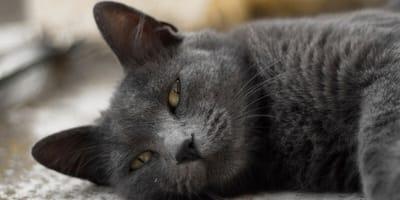 gato deshidratado