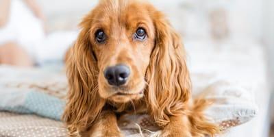 Opiekun zauważa, że coś wystaje z psu z boku i natychmiast biegnie z nim do weterynarza!
