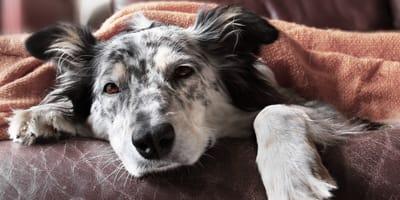 Osteosarcoma en perros: ¿cómo detectar si mi perro lo tiene?