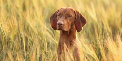 Kłos u psa: problem estetyczny czy realne zagrożenie dla zdrowia psów?