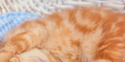 ginger tabby kitten sleeping on side