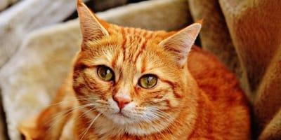 primo piano di gatto rosso