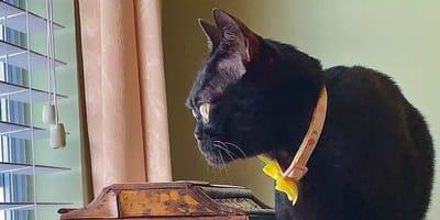 Kot bombajski z brwiami