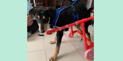 perra silla de ruedas