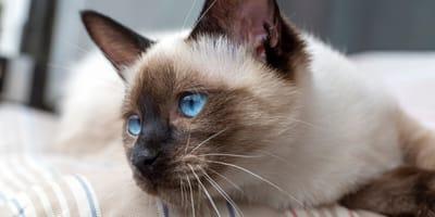 gatto siamese di profilo