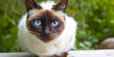 Características de los gato siameses: por qué son tan especiales