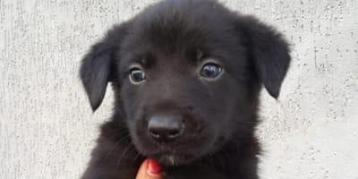 black german shepherd cross puppy