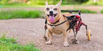 perro silla de ruedas