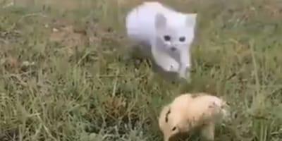 Kot i kurczak